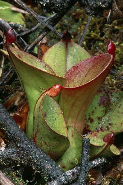 Heliamphora hispida (Cerro Neblina, Venezuela) - juvenile size