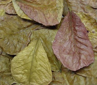Indian Almond Leaf - 10 pack