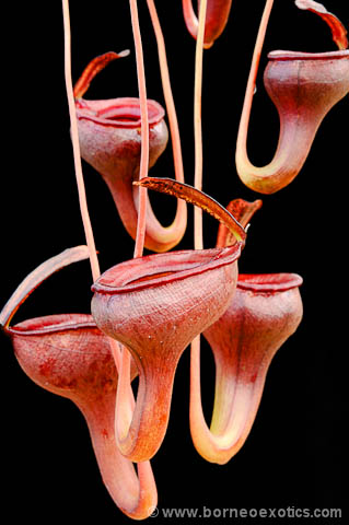 Nepenthes jamban - Small