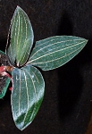 Jewel Orchid- Ludisia discolor (Ships early December)