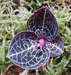 Anoectochilus formosanus - Polyploid  (Jewel Orchid)