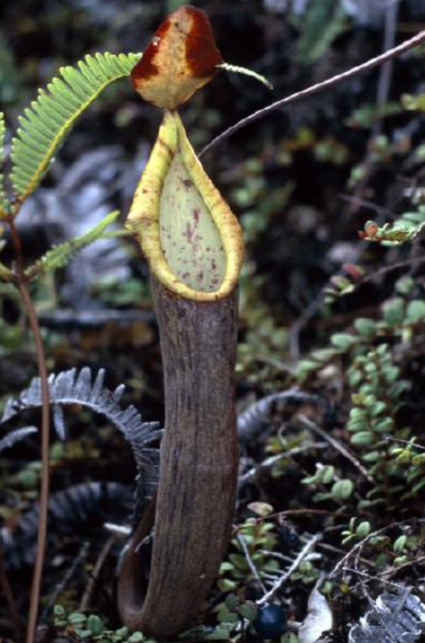 Nepenthes lavicola