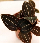 Ludochilus Sea Turtle (Jewel Orchid)