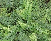 Asplenium bulbiferum (COPY)