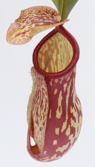 Nepenthes x St. Gaya