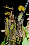 Nepenthes hamata - Lumut form (BE-3380)