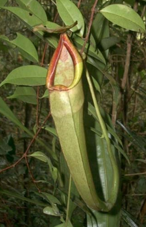 Nepenthes longifolia