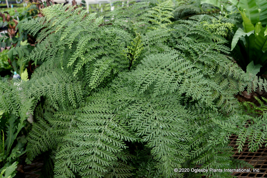 Asplenium dimorphum 'Parvati' aka Norfolk Island Spleenwort