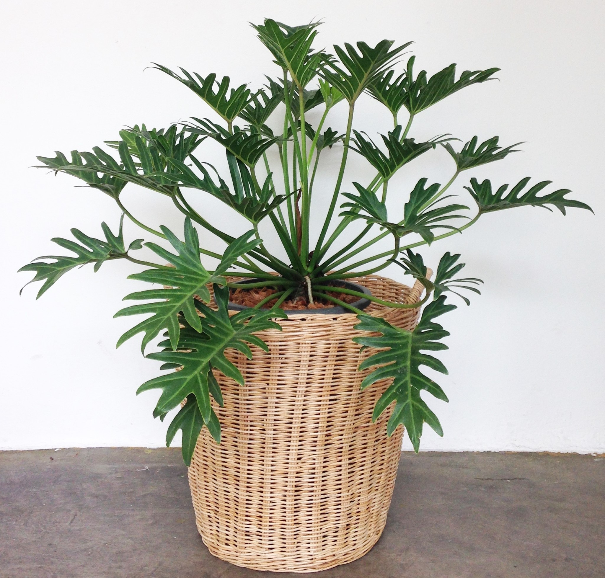 Philodendron 'Xanadu' (Philodendron x Winterbourn)