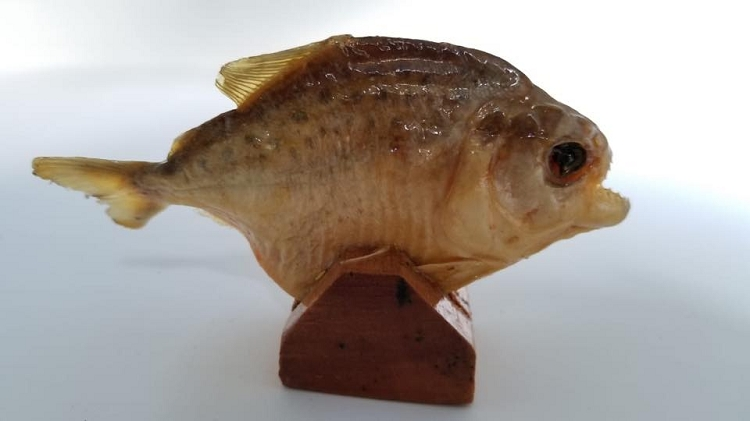 "Piranha (preserved) - Small 4-5"""