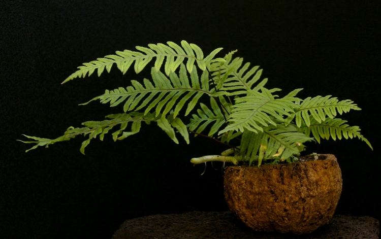 Pod Planter - Grub Fern