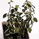 Ficus pumila (Creeping Fig) - Variegated