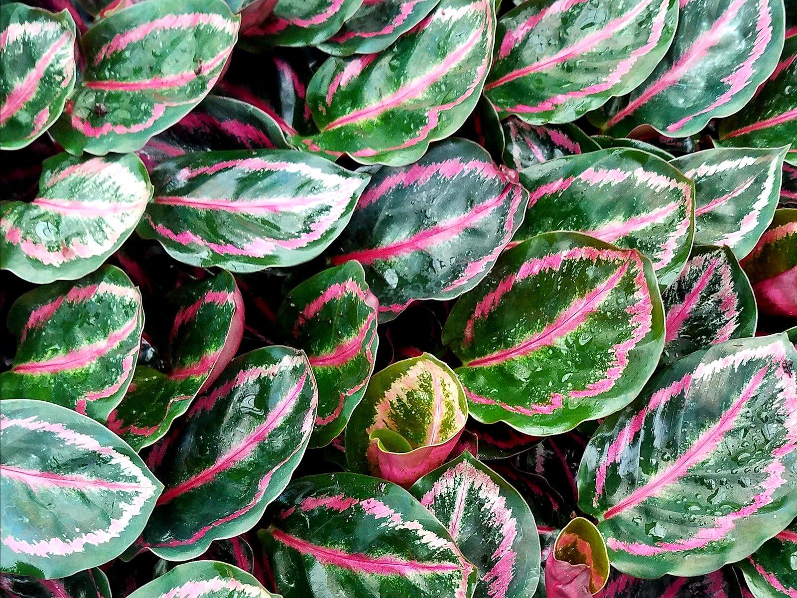 Calathea roseopicta 'Illustrus'