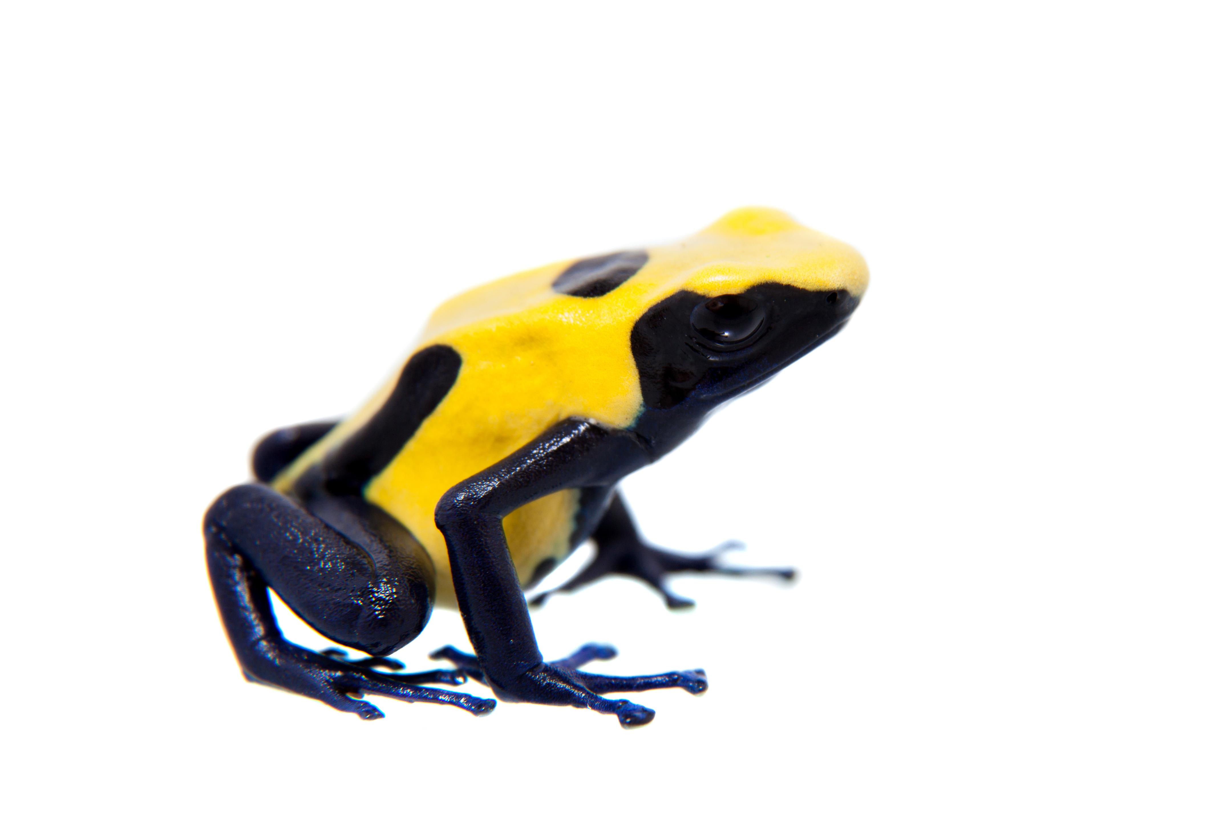 Frog - Dendrobates tinctorius 'Citronella' (froglet)