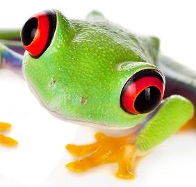 Agalychnis callidryas (Captive Bred Red Eye Tree Frog) - froglet