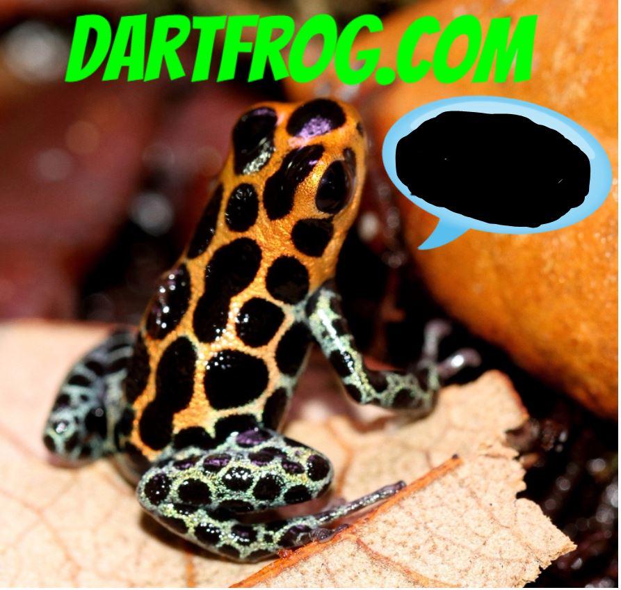 Ranitomeya imitator 'Tarapoto' - froglet