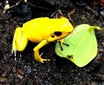 Phyllobates terribilis - Yellow (froglet)
