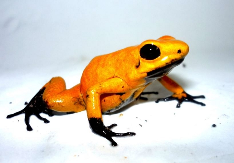 Tesoros de Colombia Frog - Phyllobates terribilis (juvenile) 'Black Foot Orange' (froglet) (PRESALE - SHIPS MID NOVEMBER)