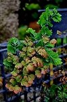 Fern - Adiantum grossum 'Bicolor Maidenhair'