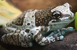 Amazon Milk Frog - captive bred froglet