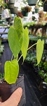 Anthurium marmoratum (small)