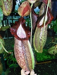 Nepenthes spathulata x spectabilis - Large