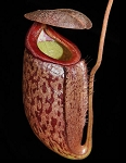 Nepenthes boschiana x tenuis - Large size