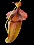 Nepenthes spathulata x jacquelineae
