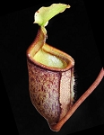 Nepenthes palawanensis (BE-4013)