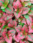 Hypoestes Species 'Red'