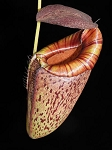 Nepenthes spectabilis x tenuis - small size