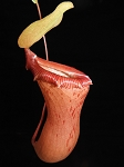 Nepenthes ventricosa (BE3772)