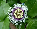 Passiflora edulis  (Passion fruit 'Possum Purple')