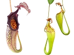Nepenthes maxima (medium size)