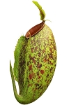 Nepenthes ampullaria x aristolochioides - BE-3658