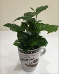 Coffee Plant - Coffea species
