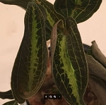 Dossisia Dominyi 'Judy' (Jewel Orchid)