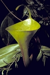 Nepenthes inermis