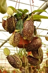 Nepenthes x hookeriana