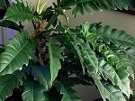 Philodendron 'Dragon's Tail'