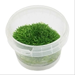 Utricularia gramminifolia - (tissue culture tub)