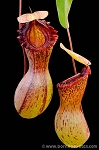 Nepenthes ventricosa 'Madja-as' (BE-3278)