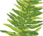 Nephrolepis exaltata 'Tiger Fern' (Variegated Boston Fern)