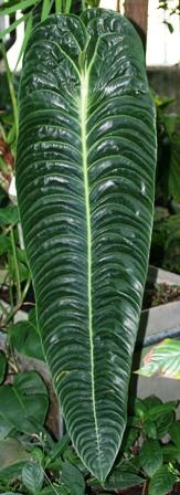 Anthurium veitchii (Gallon sized pot)
