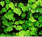 Ficus thunbergii (Oak Leaf Creeping Fig)