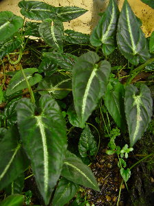 Syngonium rayii - RARE - Limited Offer!