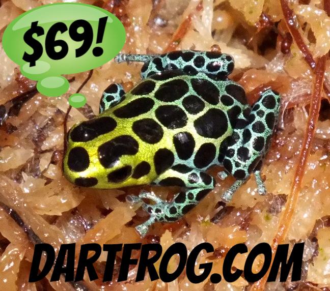 Ranitomeya variabilis - Froglet