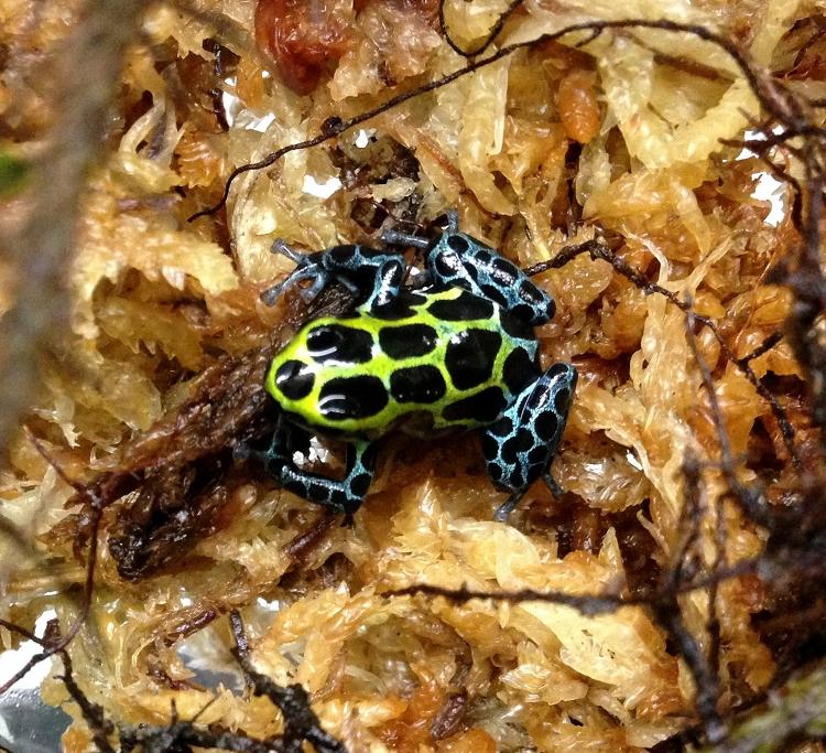 Ranitomeya variabilis Southern (froglet)