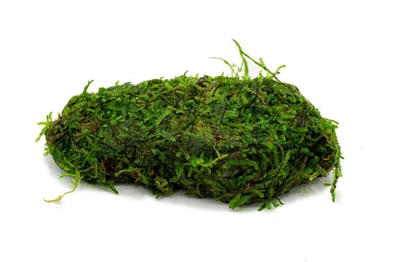 Christmas Moss on Lava Stone
