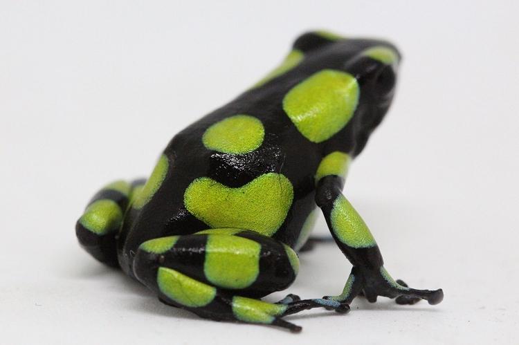Dendrobates auratus 'Capurgana' (Colombian Yellow) - froglet **PRE-ORDER NOW - SHIPS MID NOVEMBER, 2019**